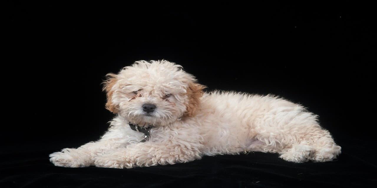 poodle dog cute puppy pet