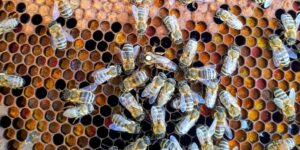 queen bees honey comb hive
