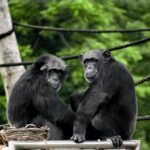 The first recorded Chimpanzee Attacks on Gorillas were observed by researchers