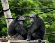 chimpanzees gorillas wild ape wildlife