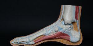 tendon fibula foot leg bone